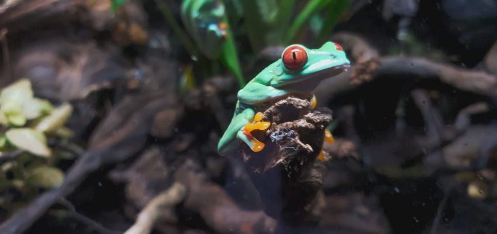 Ranas verdes de ojos rojos en los terrarios del Bioparc Acuario de Gijón