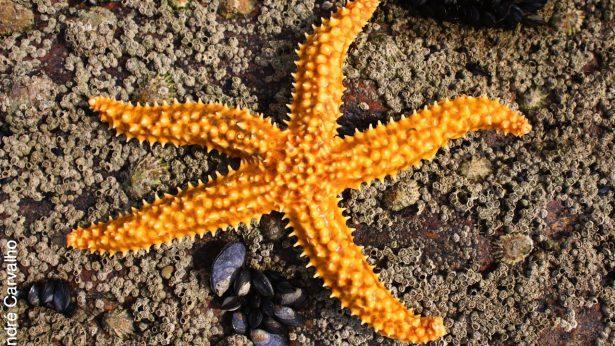 8.Estrella de mar-Marthasterias glaciaris2