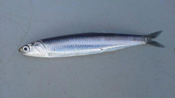 Bocarte-Engraulis encrasicolus2