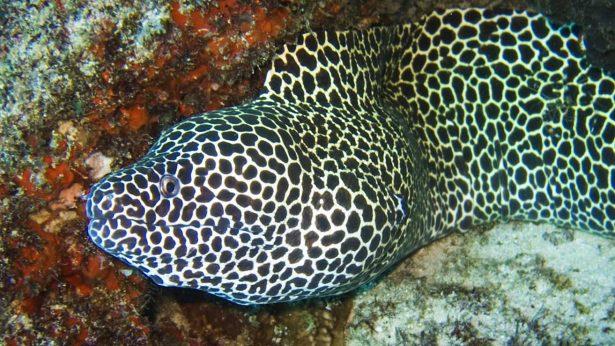 Morena-leopardo---Gymnothorax-favagineus