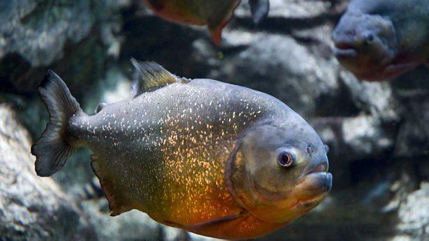 Pirana-roja-Pygocentrus-nattereri