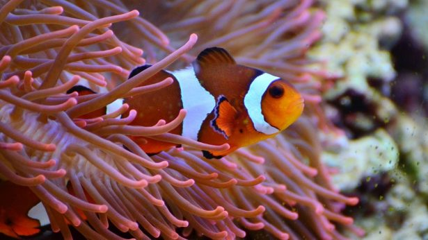pez-payaso-amphiprion-ocellaris-
